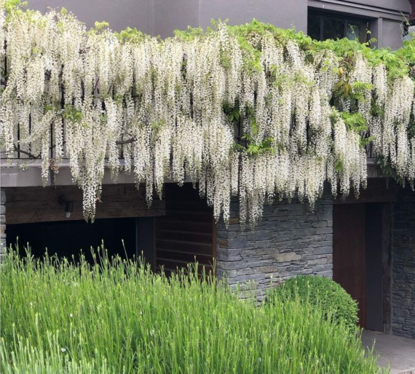 thick boughs of white wisteria adorn the front of a modern grey building