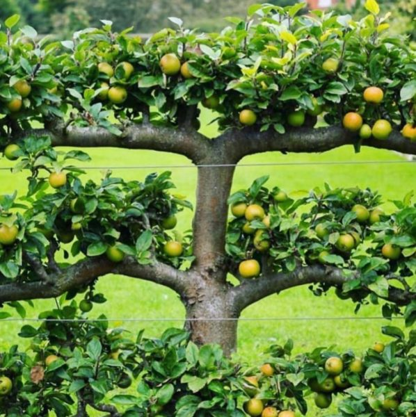 an apple tree trained into an espalier