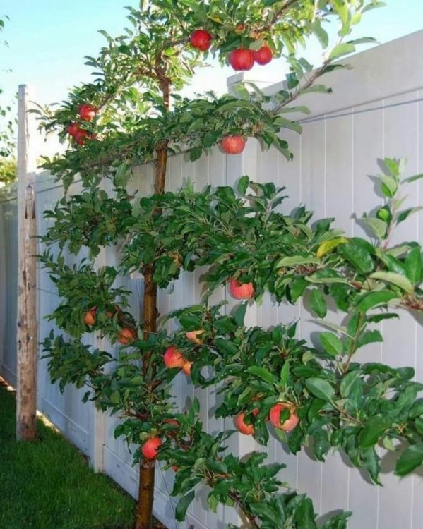 a fruit tree trained into an espalier, with branches growing in straight rows left and right
