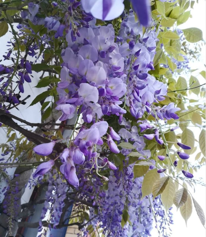 wisteria hysteria is the name given to the appreciation of these cascading blooms