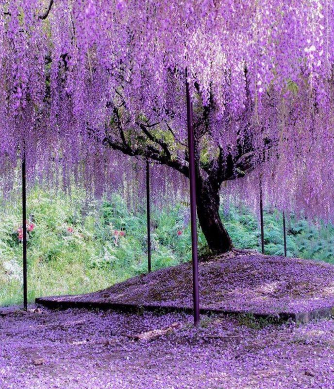 the stunning wisteria tree at Ashikaga Flower Park in Tochigi, Japan