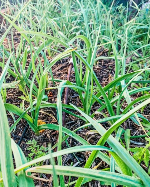 a patch of garlic with long green blades above the soil