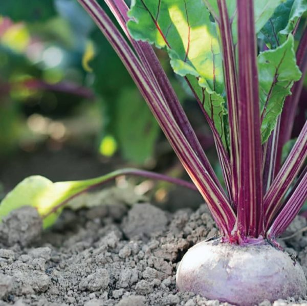 a close up of a beetroot plant with deep red stems