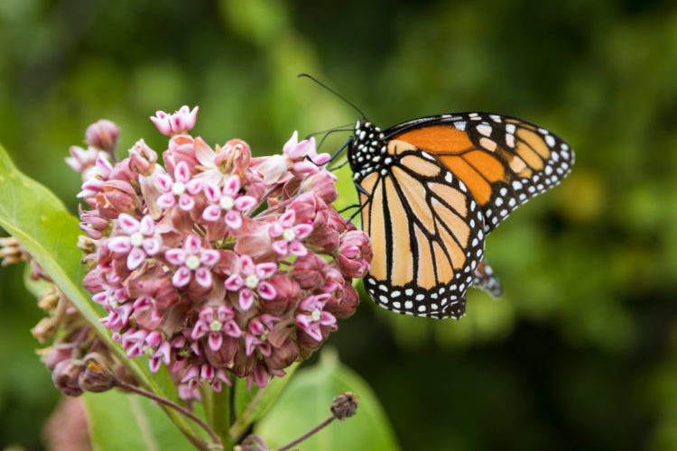 a monarch butterfly perched delicately on a head of milkweed flowers