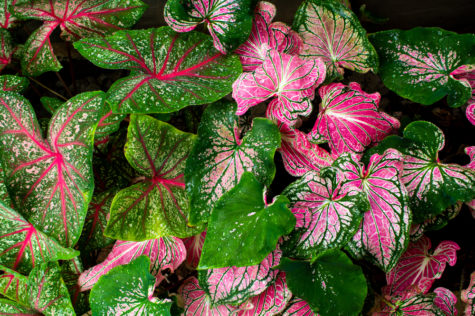 densely packed leaves of caladium, displaying amazing green and pink colours