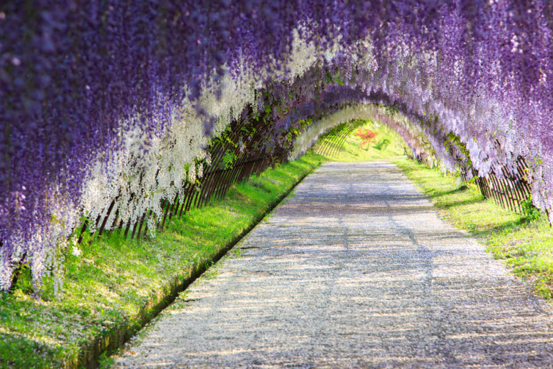 the Kawachi Fuji Garden in Kitakyushu, Japan, is considered one of the most spectacular wisteria displays in the world and an epicentre for wisteria hysteria