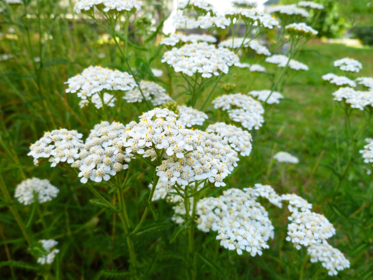 close-up of common yarrow flowers, some of the best plants for growing a shade garden