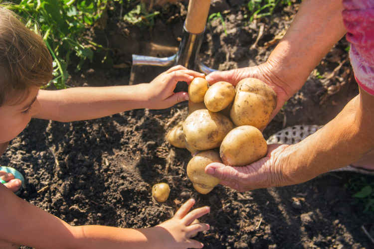 a parent and child helping each other to harvest potatoes from the garden