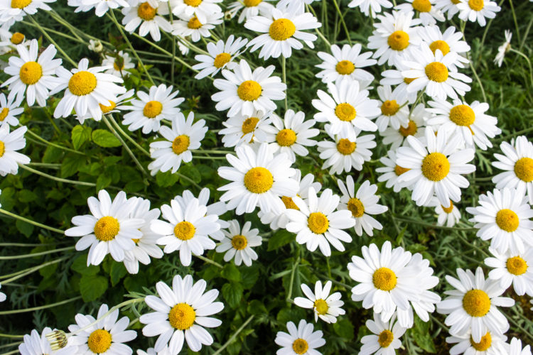 a large cluster of shasta daisies