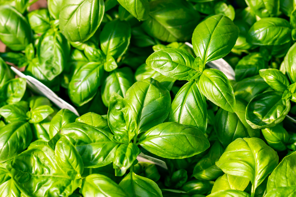 How to Grow Basil in Your Garden 1