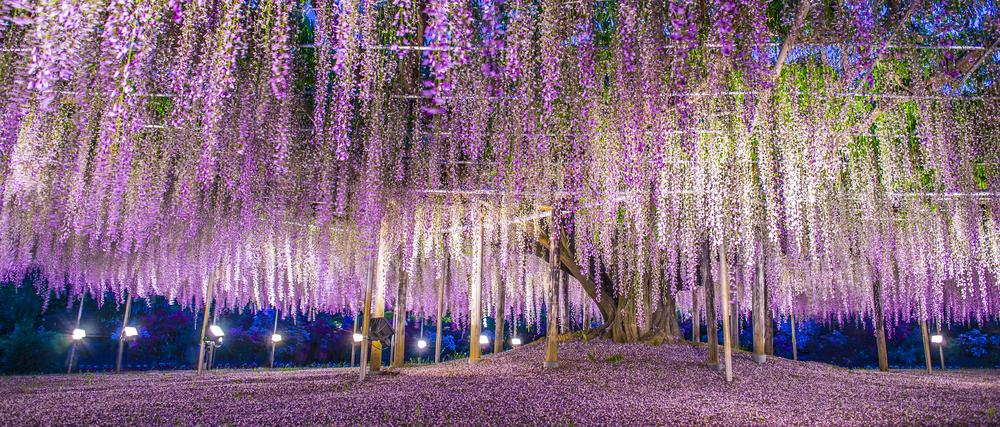 the giant wisteria at Ashikaga, Japan