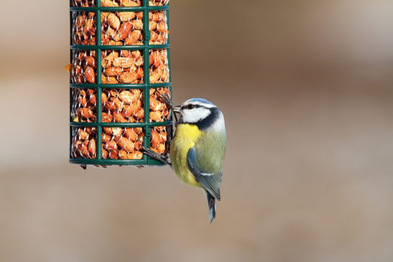 a blue tit enjoying peanuts in a bird friendly garden