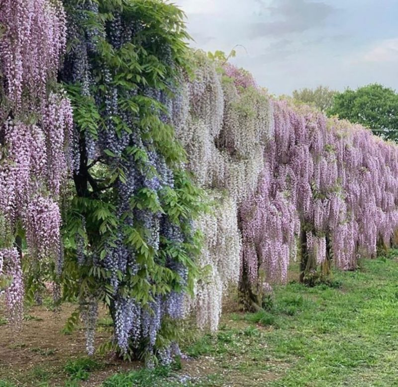 a wall of wisteria flowers in a variety of pinks, purples and creamy colours