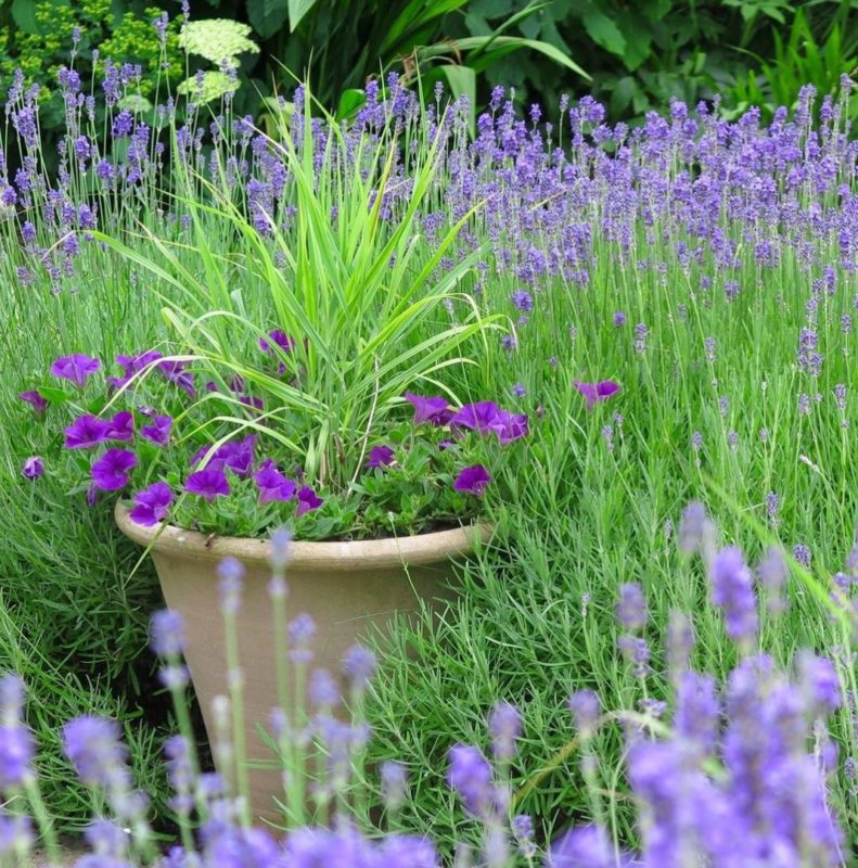 a stone planter with a spiky ornamental grass and purple flowers, in a flower bed of purple flowers
