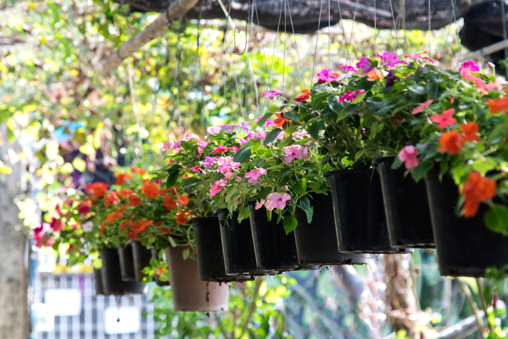 a row of hanging baskets filled with busy lizzies