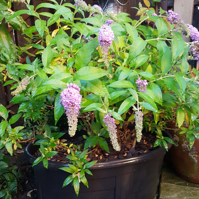 a dwarf buddleia plant is one of the best plants for container gardens