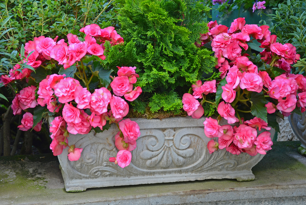 a rectangular planter filled with begonia flowers