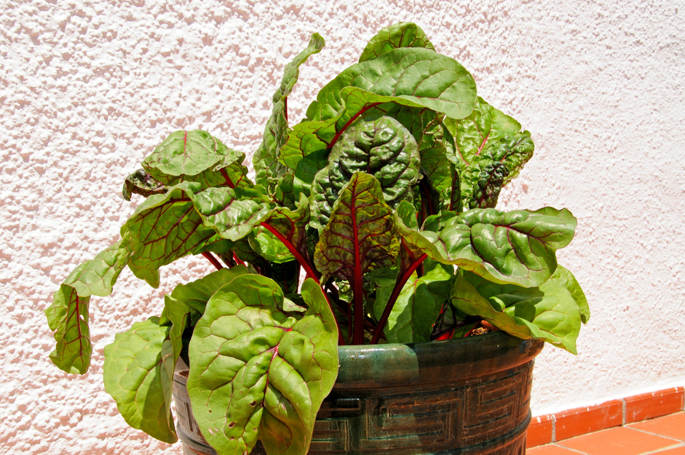 swiss chard growing in a container