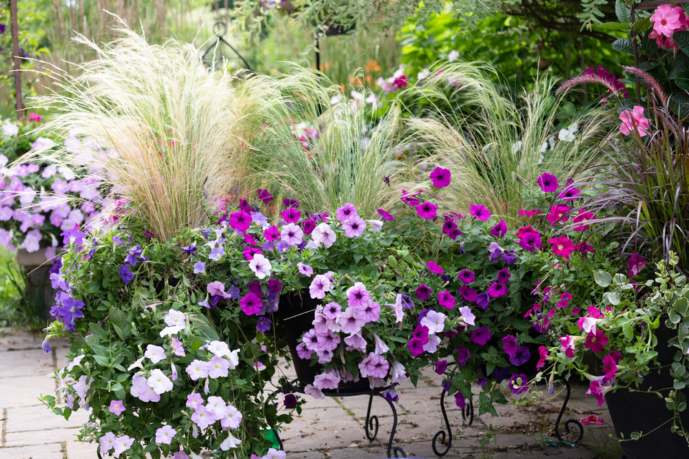 a container garden with Mexican feather grass surrounded by petunia flowers