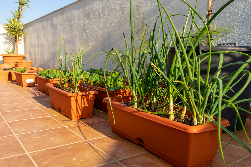 pots of garlic, one of the best vegetables for container gardening