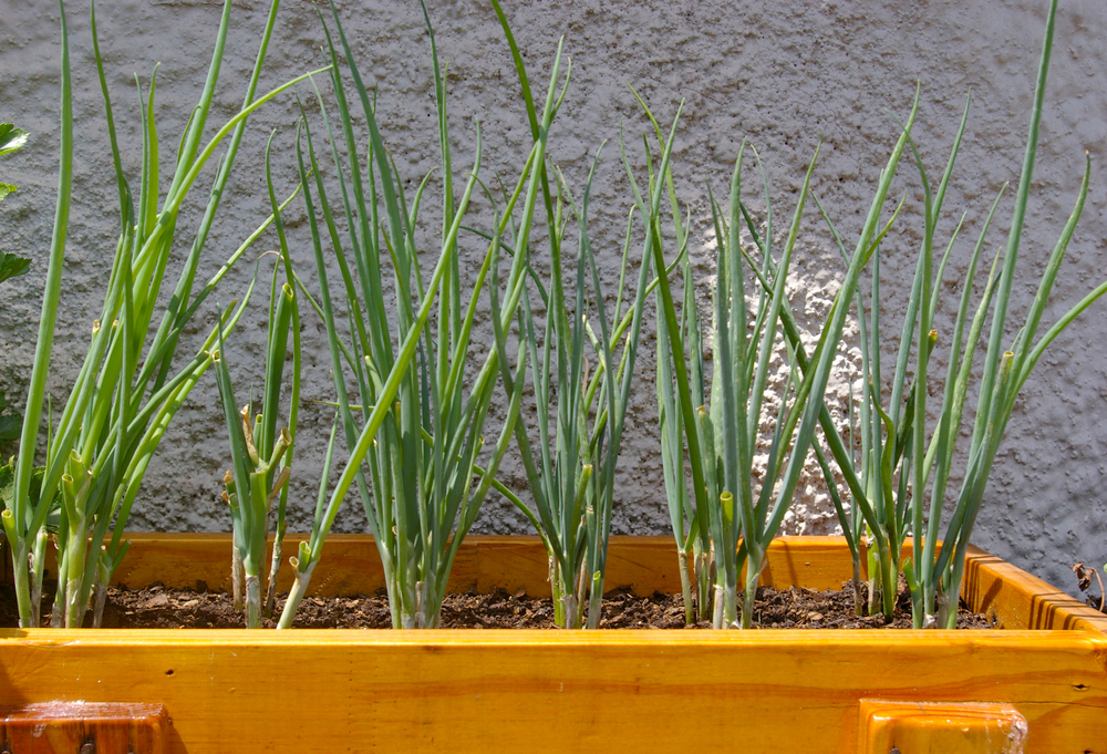 a rectangular planter with spring onions growing inside