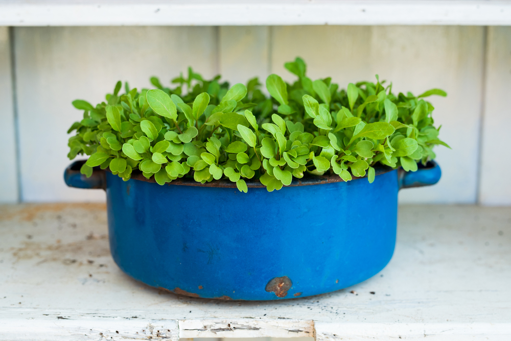 a repurposed cooking pot with rocket, or arugula, growing out of it