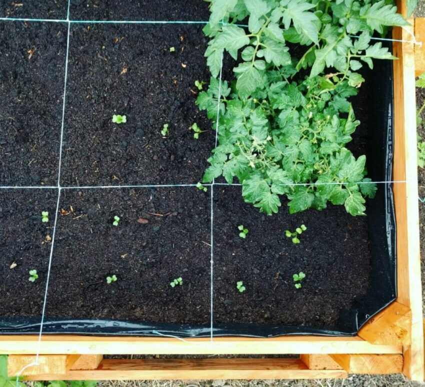 a top-down view of a raised vegetable bed, with square feet marked out with wire
