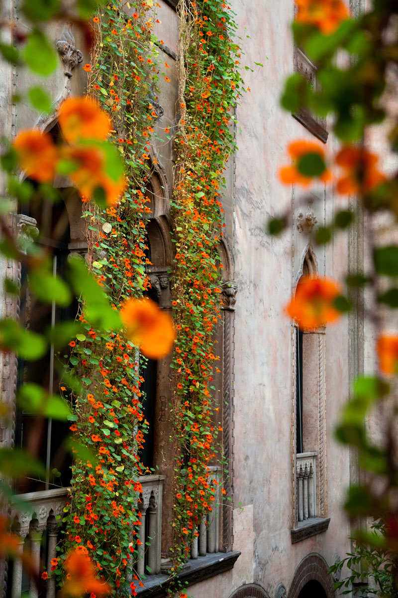 Nasturtiums climbing vines