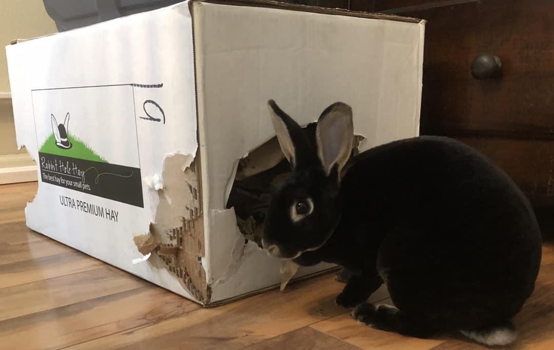 bunnie chewing cardboard