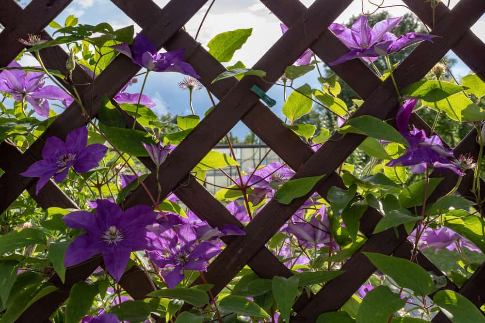 clematis climbing a fence