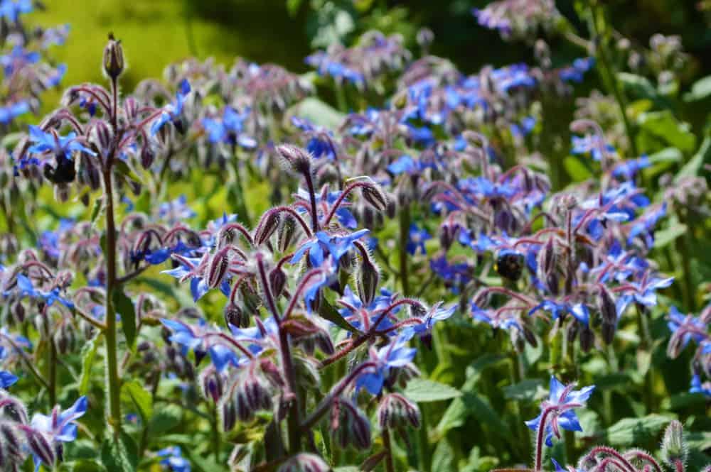 colorful blue borage flowers
