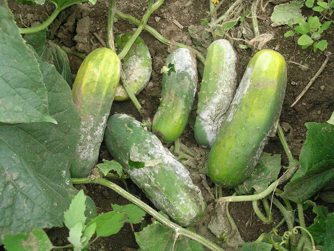 Cucumber grey mould botrytis