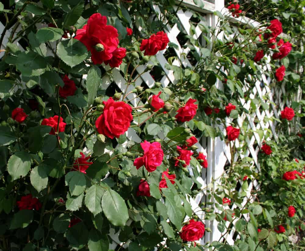 flat rose trellis
