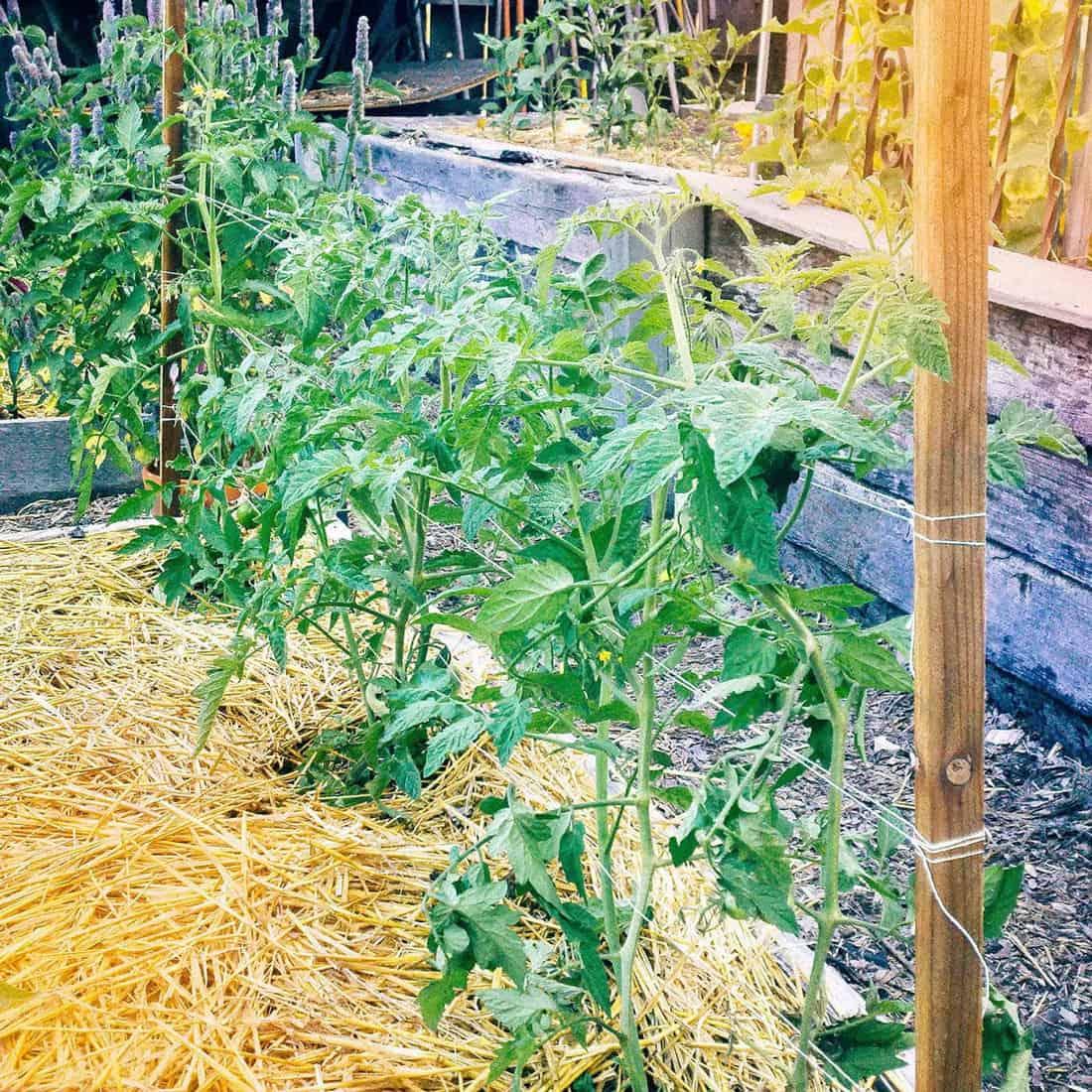 florida weave tomato trellis