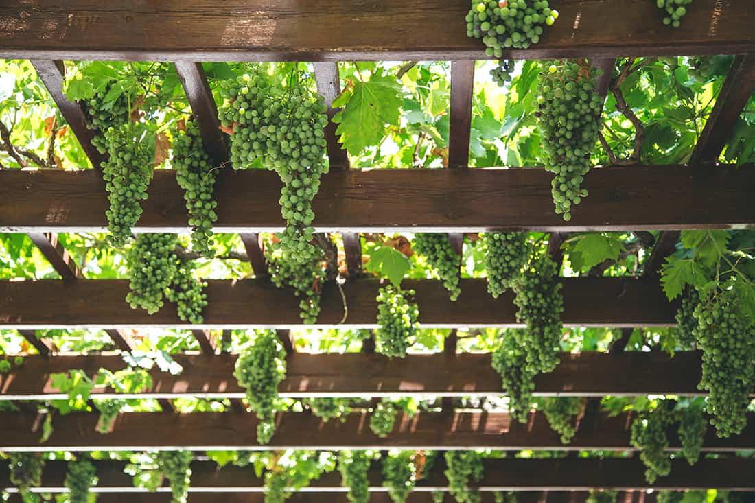 grapes on pergola