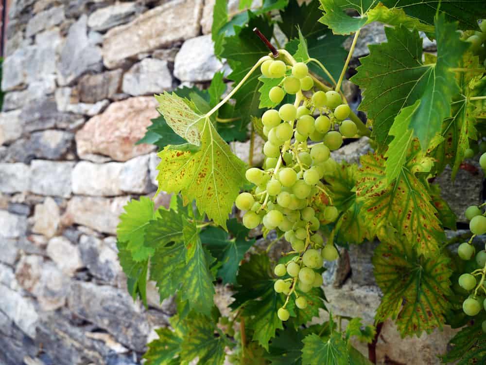 grapevine against a brick wall
