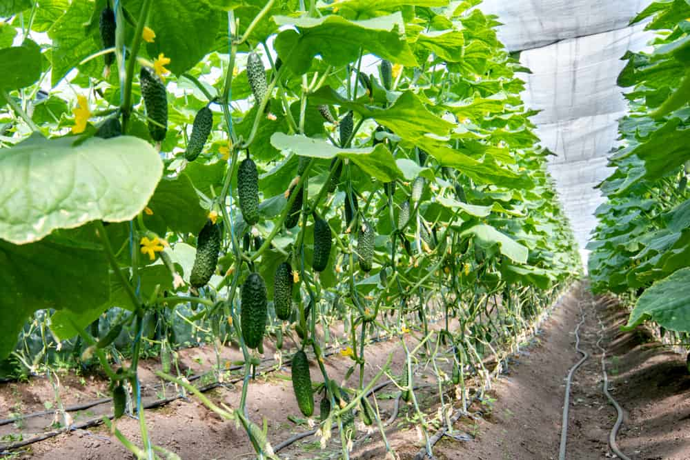 growing cucumbers in a greenhouse with irrigation