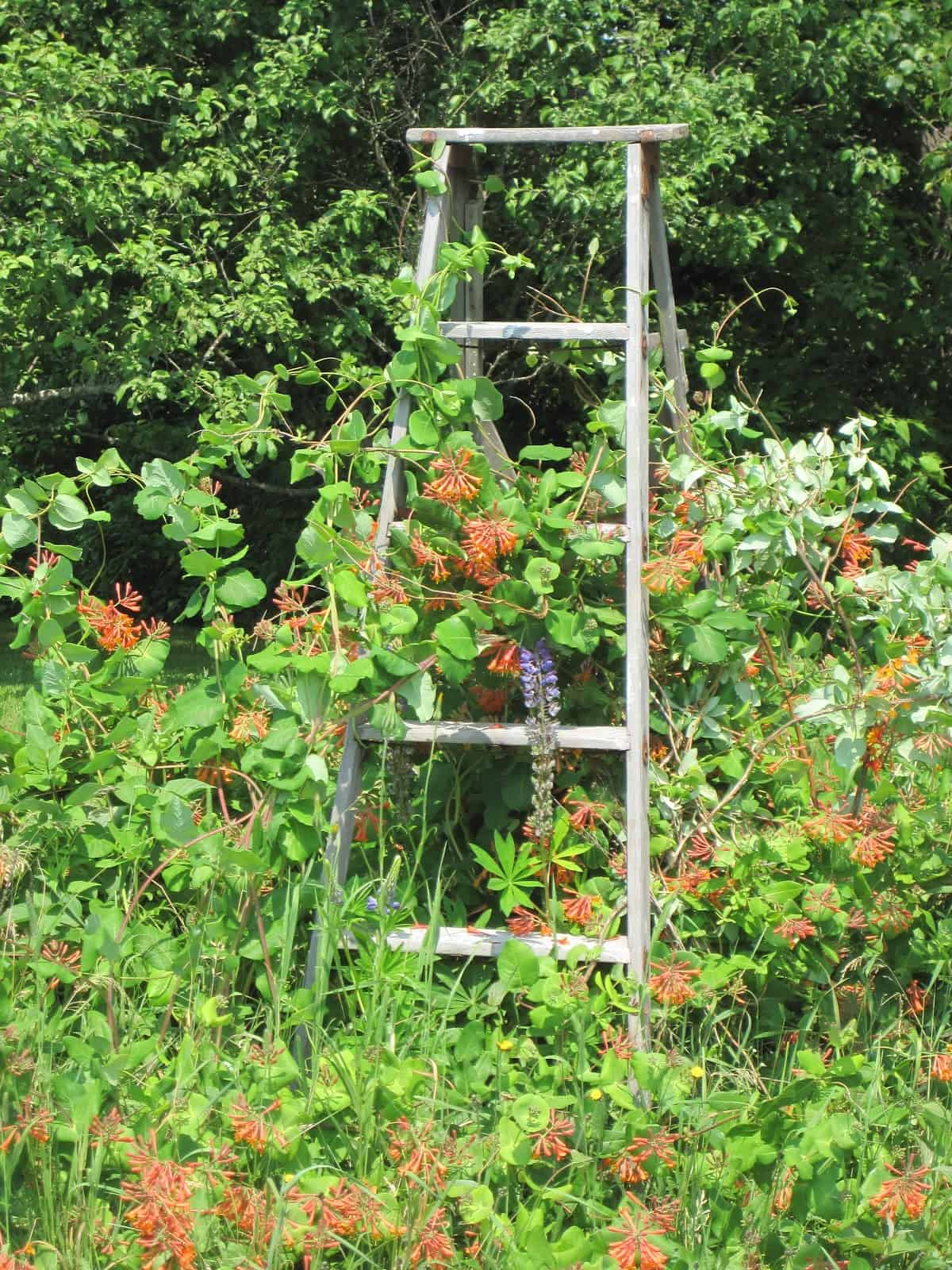 honeysuckle ladder