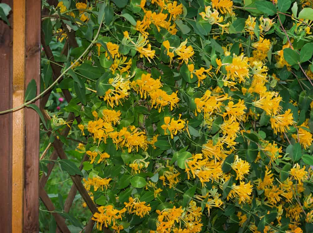 honeysuckle privacy wall