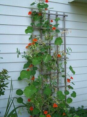 nasturtiums climbing trellis on the wall