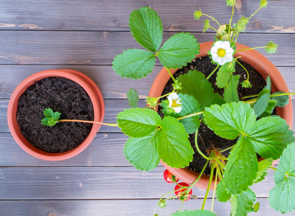 planting strawberry runners