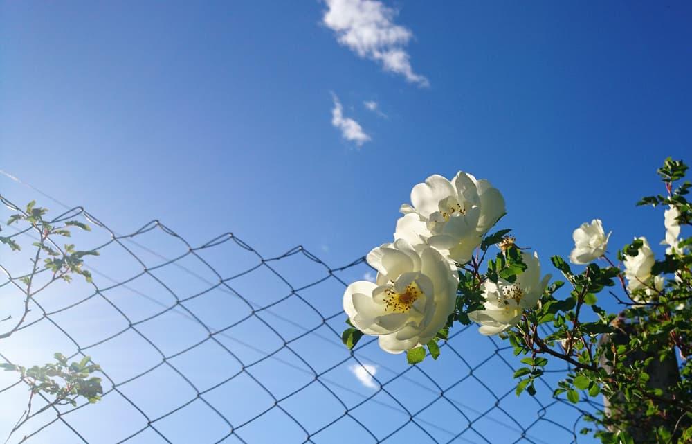 rose climbing fence