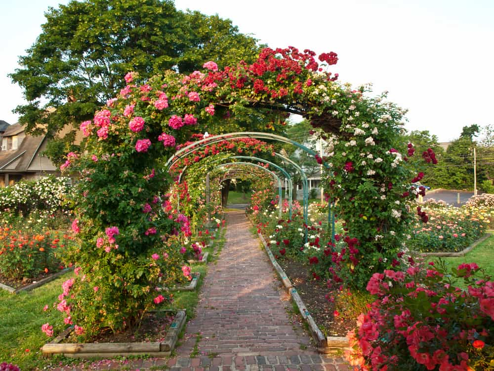 rose garden with arching trellises