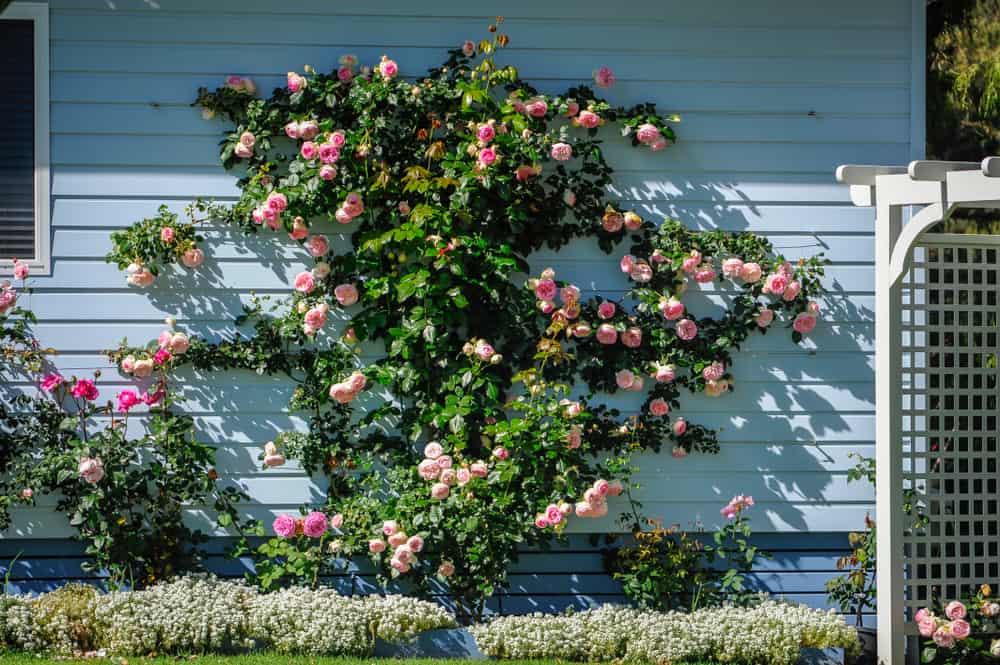 rose trellis on a house