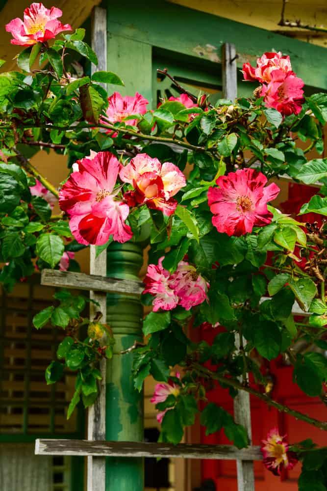 roses on ladder trellis
