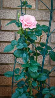 small rose trellis