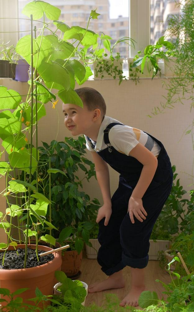 tall cucumber vine climbing a pot bamboo trellis
