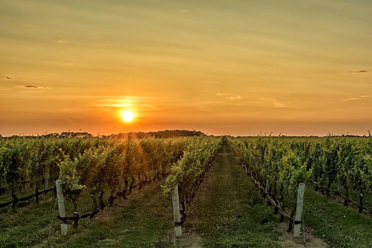 trellis for grapes