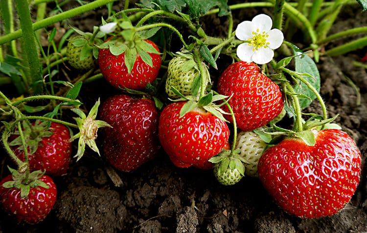will strawberries climb trellis