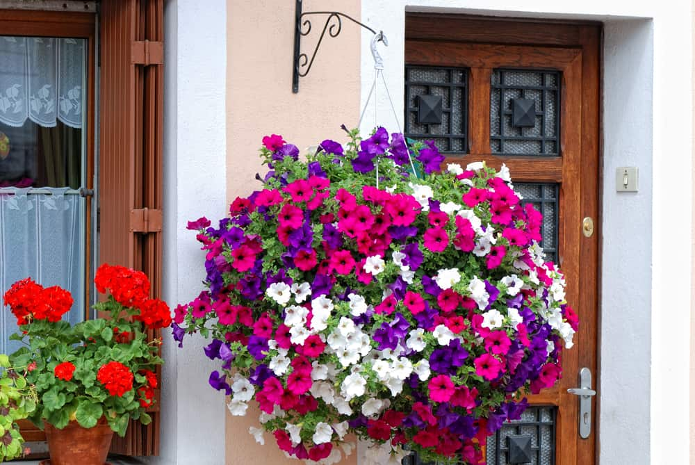 basket filled with vibrant petunias